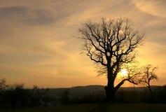 Färgrik guld- solnedgång på den gamla eken Fotografering för Bildbyråer