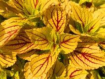 Färgrik guling och röd växt. Arkivbilder