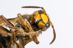 Färgrik guling-svart bålgeting på en enhetlig ljus bakgrund Kryp på en makroskala Närbild av huvudet, benen, magen och ögonen royaltyfria bilder