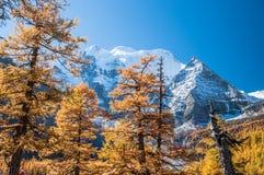Färgrik höst med pinjeskogen och snöberget Fotografering för Bildbyråer