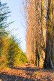 Färgrik höst med popplar och sidor på jordningen fotografering för bildbyråer
