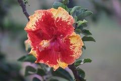 Färgrik hibiskusblomma i parkera Royaltyfria Foton