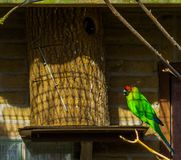 Färgrik horned parakiter som sitter på dess fågelhus, papegoja från Nya Kaledonien, hotad fågelspecie med sårbar status arkivfoto