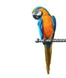 Färgrik isolerad papegojaara Fotografering för Bildbyråer