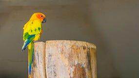 Färgrik jandayaparakiter som sitter på en trädstubbe i closeup arkivfoto