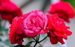 Färgrik japan steg Royaltyfria Foton