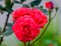 Färgrik japan steg Royaltyfri Foto