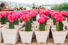 färgrik kaktus Royaltyfri Foto
