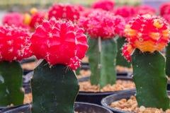 färgrik kaktus Royaltyfri Fotografi