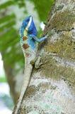 färgrik kameleont Royaltyfri Fotografi