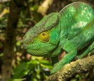 Färgrik kameleont av Madagascar Royaltyfri Bild