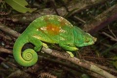 Färgrik kameleont av Madagascar Royaltyfria Bilder