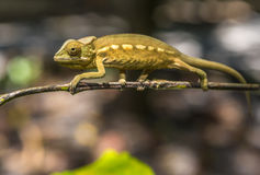 Färgrik kameleont av Madagascar Royaltyfria Foton