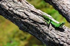 Färgrik kameleont, nationalpark Horton Plains royaltyfri fotografi