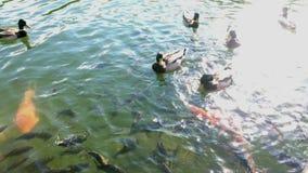 Färgrik karp för abstrakt simning eller Koi fisksimning på dammet eller sjön stock video