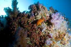 färgrik korall maldives revar slappt Royaltyfri Fotografi