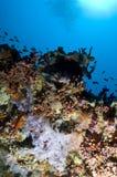 färgrik korall maldives revar slappt Arkivfoton