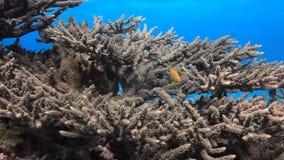 Färgrik korall på sandigt nedersta djupt undervattens- i Röda havet lager videofilmer