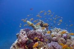 Färgrik korallrev med exotiska fiskanthias Royaltyfri Fotografi