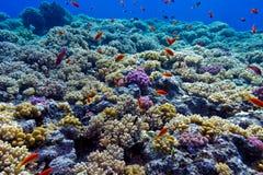 Färgrik korallrev med hårda koraller på bottnen av det röda havet Royaltyfria Bilder