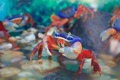 Färgrik krabba i en fiskbehållare Royaltyfria Bilder
