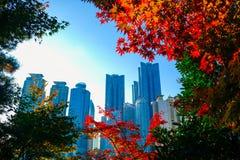 Färgrik lönn spricker ut under höstsäsong på Busan, Sydkorea arkivbild