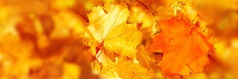 Färgrik lönnlövmodell Röda och gula lönnlöv stänger sig upp höstlandskap Selektivt fokusera panorama- bild fotografering för bildbyråer
