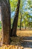 Färgrik lövverk i parkerar - i Sunny Autumn Day With Golden Leaves i träd, Lettland, Europa, begrepp av att koppla av loppdag in arkivbild