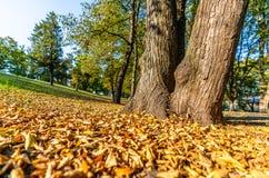 Färgrik lövverk i parkerar - i Sunny Autumn Day With Golden Leaves i träd, Lettland, Europa, begrepp av att koppla av loppdag in arkivbilder