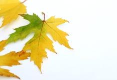 färgrik leaveslönn Royaltyfri Bild