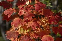 färgrik leaveslönn Arkivfoto