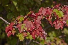 färgrik leaveslönn Royaltyfri Fotografi