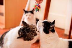 Färgrik leksak som spelar med gulliga huskatter Leksak för katter Arkivbilder