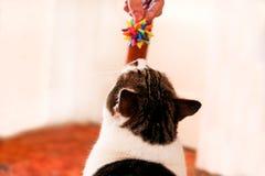 Färgrik leksak som spelar med gulliga huskatter Leksak för katter Royaltyfri Bild