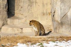 Färgrik leopard Arkivbild