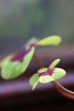 färgrik liten leafmakro för stor växt av släkten Trifolium arkivbild