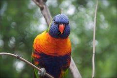 färgrik lorakeet Fotografering för Bildbyråer
