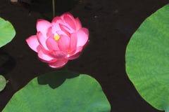 färgrik lotusblomma Royaltyfria Bilder