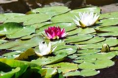 färgrik lotusblomma Royaltyfri Fotografi