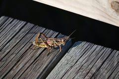 Färgrik Lubbergräshoppa fotografering för bildbyråer