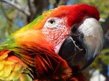 färgrik macaw Arkivfoto