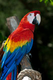 färgrik macaw Arkivfoton