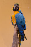 färgrik macawpapegoja Royaltyfri Bild