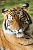 Färgrik Malayan Tiger Rests On Warm Summer eftermiddag Arkivfoton