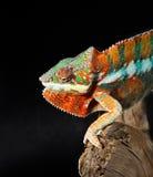 färgrik manlig för kameleont Arkivfoton