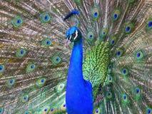 Färgrik manlig påfågel royaltyfri foto