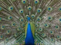 Färgrik manlig påfågel med fördjupade fjädrar fotografering för bildbyråer