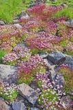 Färgrik matta av stenbräckaarendsiien på kullen arkivfoto