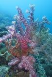 Färgrik mjuk korall av fältprästen Burgos, Leyte, Filippinerna Royaltyfri Foto
