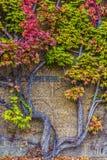 Färgrik murgröna på väggen Arkivfoto